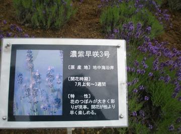 濃紫早咲3号