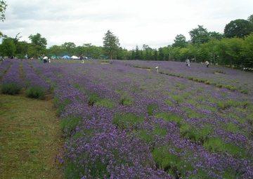 東海大学札幌キャンパスのラベンダー畑